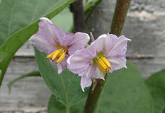Tweelingbloemen stock foto's