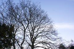 Tweelingbomen in de winter Stock Afbeeldingen