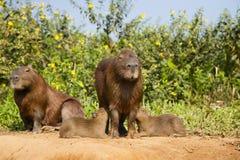 Tweelingcapybara-Babys Verzorging Royalty-vrije Stock Afbeeldingen