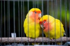 Tweelingen Gele Vogel Stock Afbeeldingen
