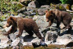 Tweelingen van de Welp van de Grizzly van Alaska de Bruine Royalty-vrije Stock Foto's