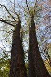 Tweelingenbomen in het de herfstbos Stock Foto's