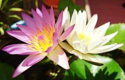 Tweelingenlotusbloem Stock Afbeeldingen