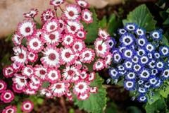 Tweelingkleur van bloem Stock Fotografie