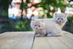 Tweelingmunchkin Cat Relaxing In Home Area stock fotografie
