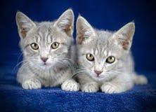 Tweelingtabby kitten sisters Royalty-vrije Stock Afbeelding