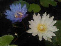Tweelingwaterlelies Nymphaeaceae stock foto's