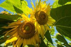 Tweelingzonnebloemen Stock Foto's