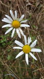 Tweens daisies. White small flowers Royalty Free Stock Photography