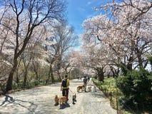 Tweepersoons drie honden één persoon drie sakuura van Hondenapril in het Central Parkboom van New York stock afbeeldingen
