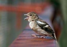 Tweeting Schätzchenvogel Lizenzfreies Stockbild