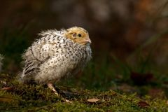 Twelve days old quail, Coturnix japonica..... photographed in nature. royalty free stock photos