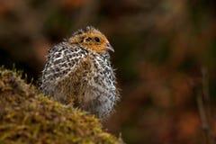 Twelve days old quail, Coturnix japonica..... photographed in nature. Twelve days old quail, Coturnix japonica.....photographed in nature. Breed by hoby growers stock photo