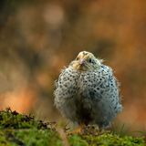 Twelve days old quail, Coturnix japonica..... photographed in nature. royalty free stock photo