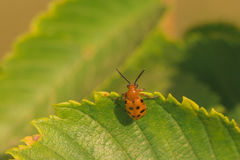 Twelve Spotted Asparagus Beetle Hanging on Leaf Stock Images