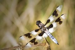 Twelve-spotted Skimmer. Macro overhead view of twelve-spotted skimmer dragonfly royalty free stock photos