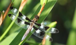 Twelve-spotted Skimmer Royalty Free Stock Image
