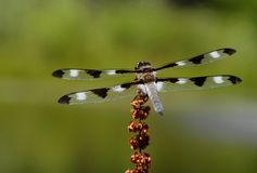 Twelve-spotted Skimmer Stock Images
