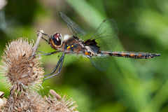 Twelve Spotted Skimmer Dragonfly Royalty Free Stock Images