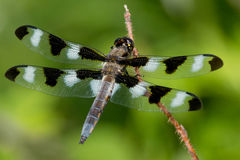 Twelve-spotted Skimmer Dragonfly Royalty Free Stock Photography