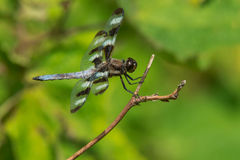 Twelve-spotted Skimmer Dragonfly Royalty Free Stock Images