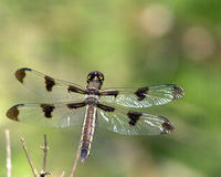 Twelve-spotted Skimmer (Libell Stock Photography