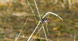 Twelve-spotted Skimmer Libellula pulchella Perched on a Reed royalty free stock photo