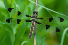 Twelve-spotted Skimmer. Perched on a branch stock photography