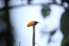 Twelve-wired Bird-of-paradise Royalty Free Stock Photos
