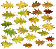Twenty five autumn oak leaves. Twenty five autumn oak real leaves. Isolated on white big set Stock Image