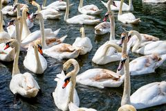 Twenty five swans together stock photography