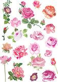 Twenty one pink roses Stock Image