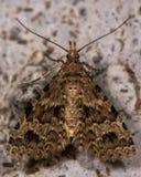 Twenty-plume moth (Alucita hexadactyla) Stock Photo