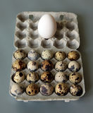 Twenty quail eggs and one chicken egg. On the gray background Stock Photography