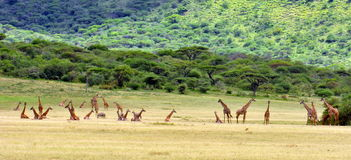 Twenty Seven Giraffes Royalty Free Stock Images