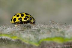 Twenty-two spot ladybird (Psyllobora vigintiduopunctata). A yellow and black ladybird on a hairy mullein leaf Royalty Free Stock Images