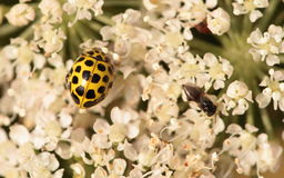 Twenty two spot ladybird. Royalty Free Stock Images