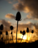 Twezel seed head in the sunset Stock Photos