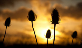 Twezel seed head in the sunset Royalty Free Stock Photo