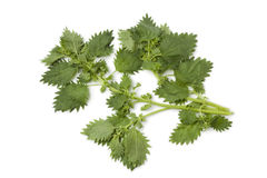 Twgs of stinging nettles. Twigs of nettles on white background royalty free stock photos
