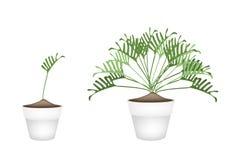 Twho Philodendronväxt i keramiska blomkrukor Arkivfoton