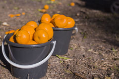 Twi full buckets of mandarins Stock Photography