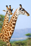 Twi giraffes dead Stock Photo