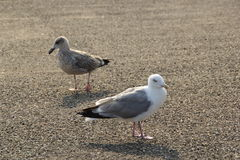 Twi seagulls close up. A couple of black-backed seagulls takes a break Royalty Free Stock Image