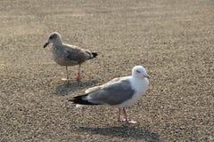 Twi seagulls stänger sig upp Royaltyfri Bild