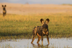 Twice alert. Two African Wild Dog (Lycaon pictus) look at the photographer. These dogs were cooling down and playing in the floodplains of the Zambezi river in Stock Image