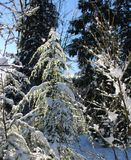 Twice as Nice with Ice. Ice rain gilds trees and shrubs with a diamond like glaze that glints and sparkles as the sun of a clear winter day  finds them in the Royalty Free Stock Images