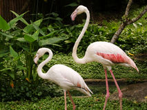 A twice of flamingo Royalty Free Stock Images