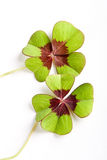 Twice lucky. Two four-leaf clovers bringing luck twice Stock Image