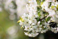 Twich de cerise en fleur, d'isolement Photo stock